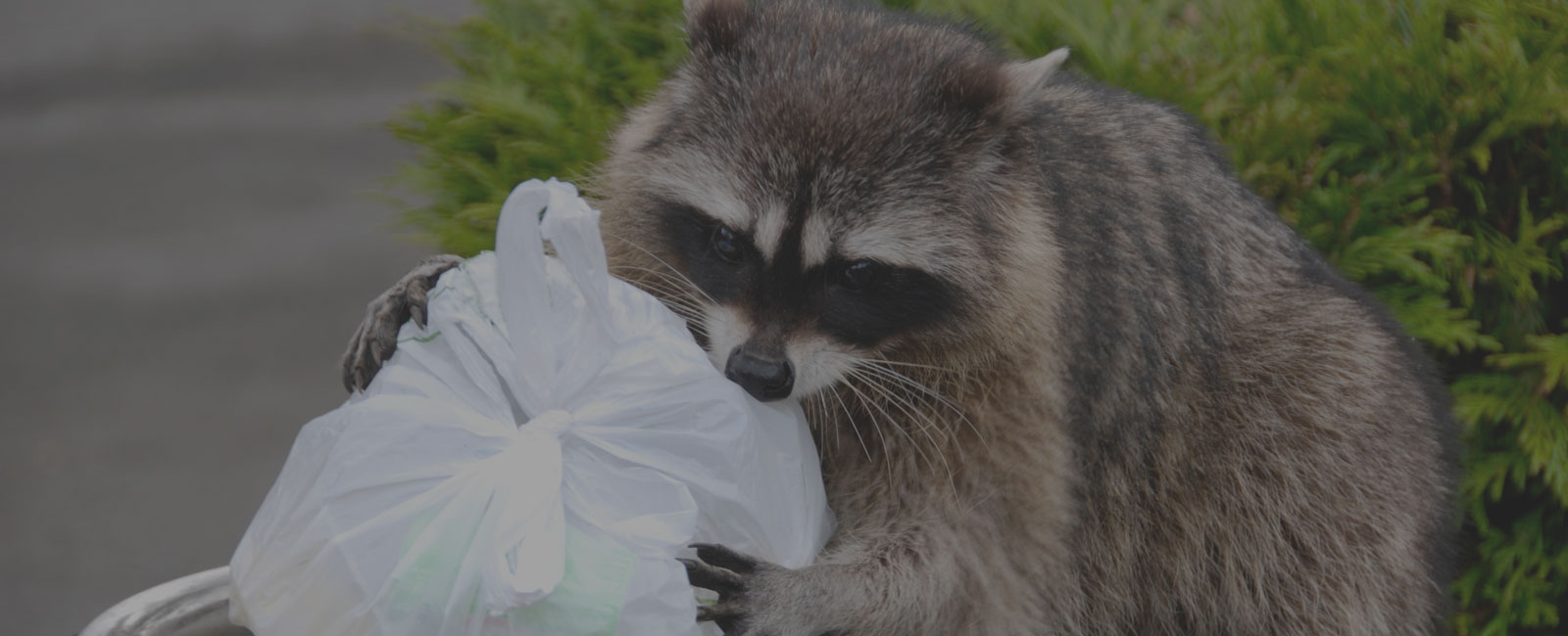 Racoon in garbage